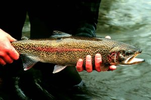 A rainbow trout being held by a fly fisherman.