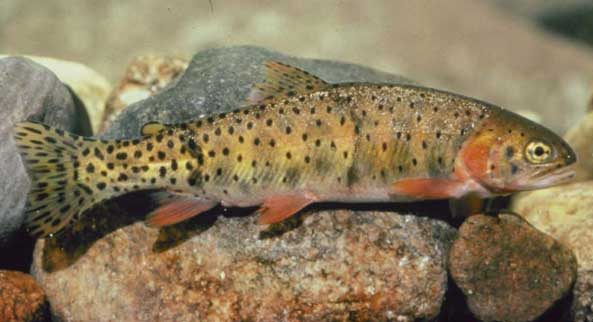 "Back from the Dead: ""Extinct"" Colorado Cutthroat Trout Rediscovered Years Later"