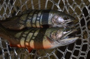 Two brook trout lie together in a fisherman's net