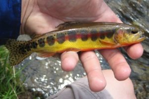 A golden trout being held in a person's hand.