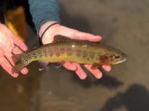 a golden trout being held above water.