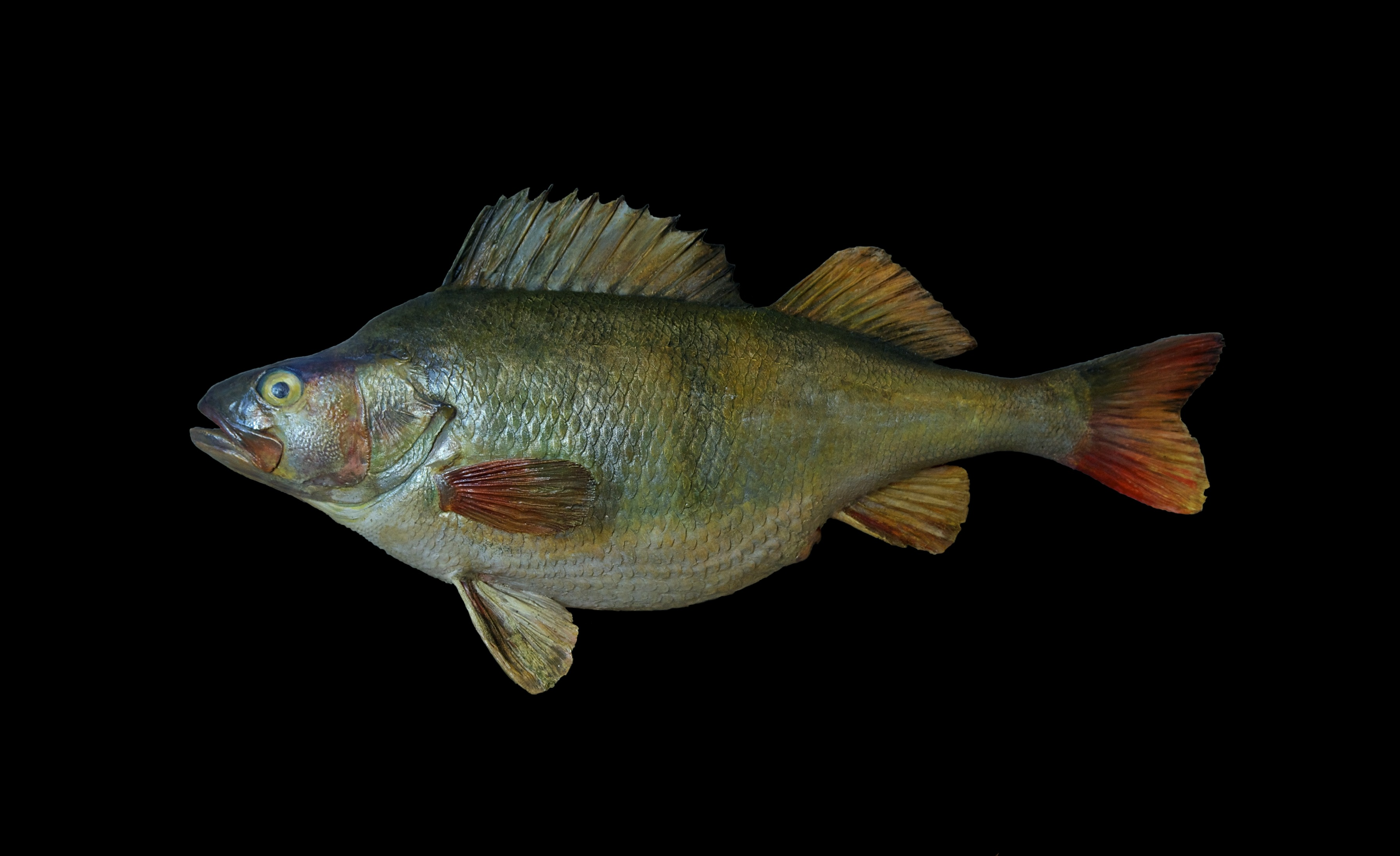 A yellow perch mount.