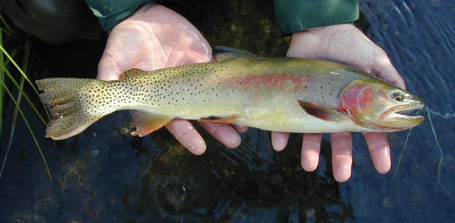 A cutthroat trout being held in someones hands.