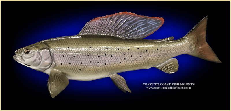 A fiberglass replica of an arctic grayling.