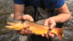 A large brown trout in a man's hands