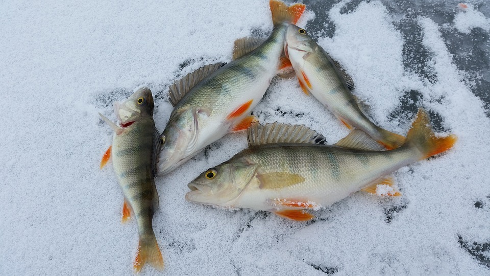 4 yellow perch on ice