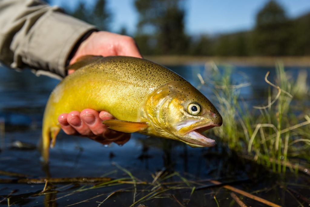 A trout is held over calm water with grasses sticking up.