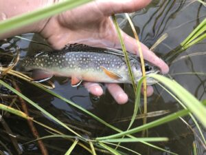 A brook trout in someone's hand.