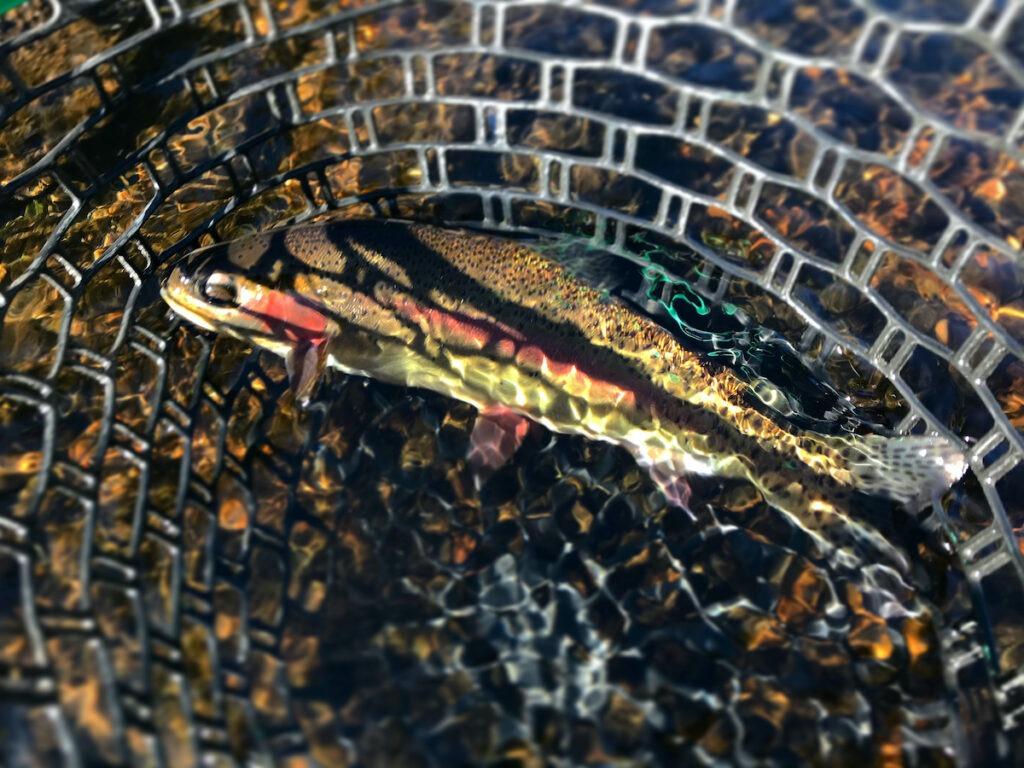 A rainbow trout in a net