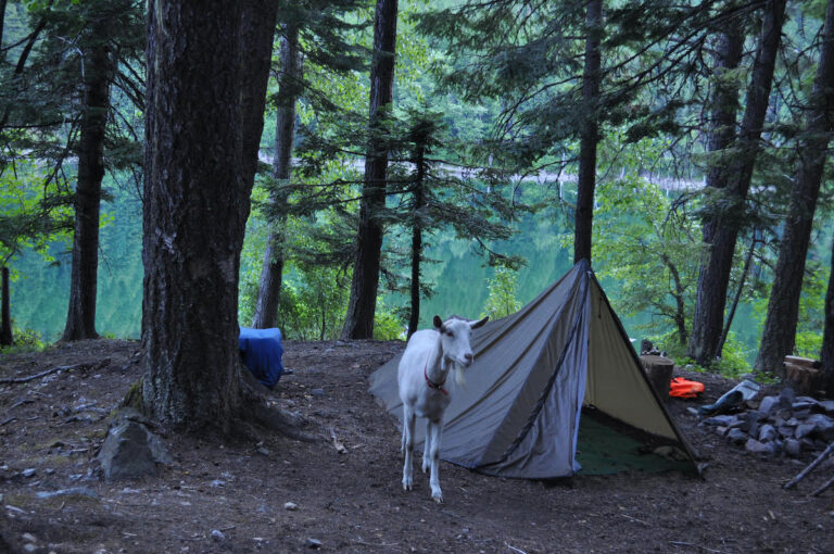 A pack goat stands in a camp in front of a lake