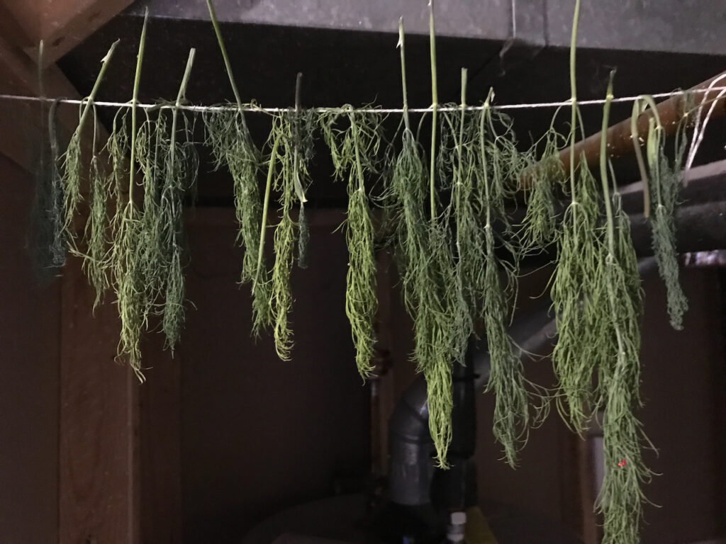 Dill sprigs hanging from a string to dry.
