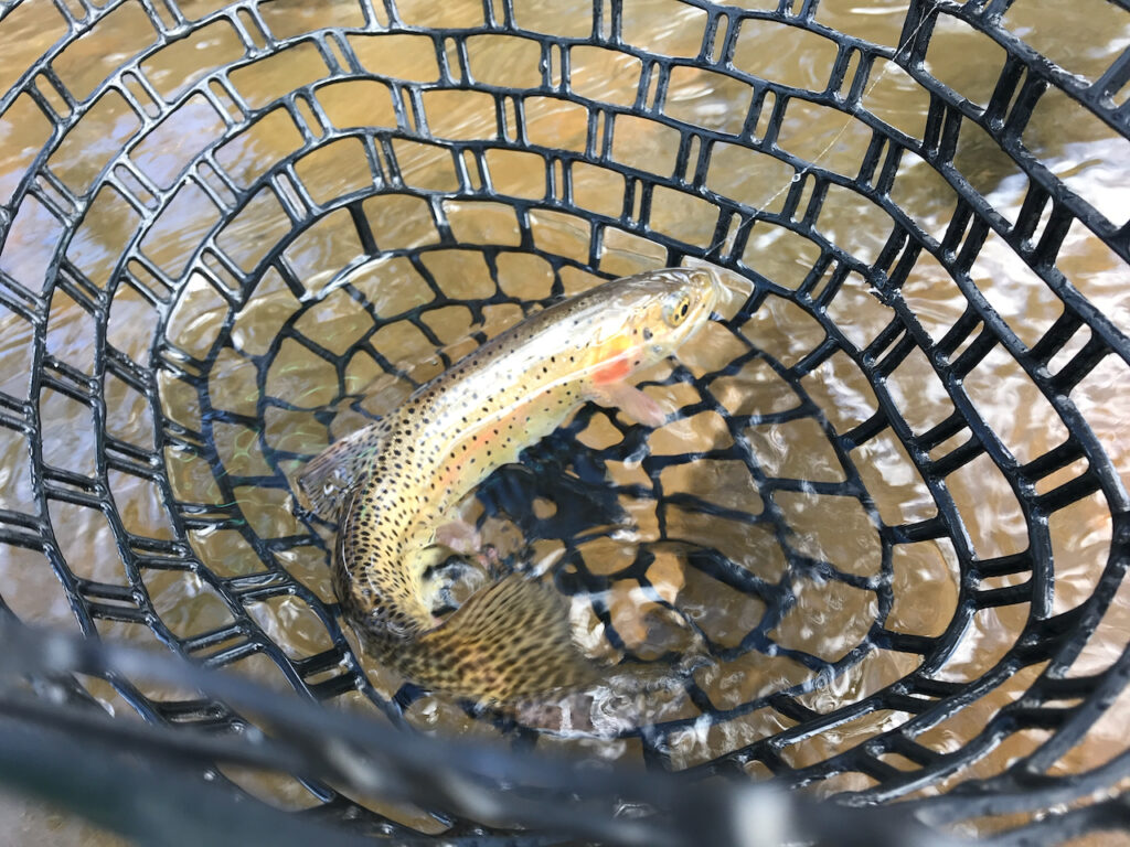 A cutthroat trout in a fishing net.