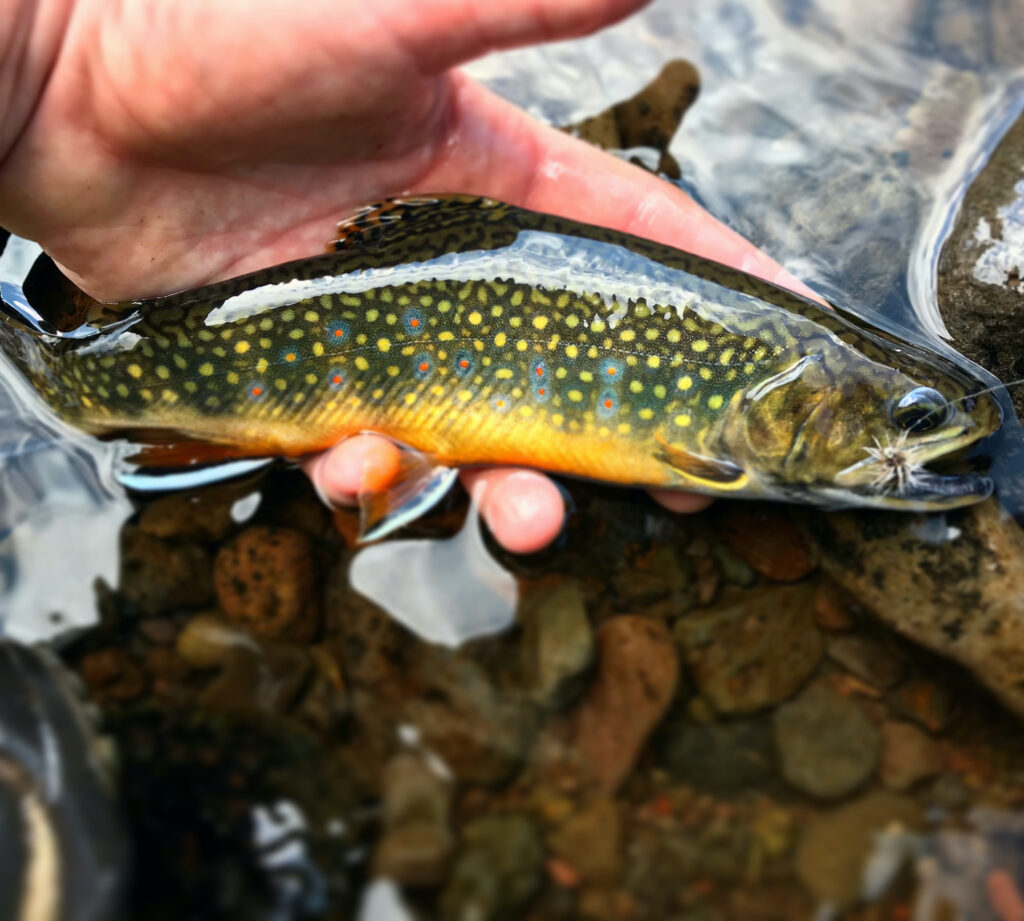 A brook trout being cradled in a hand with a fly in its mouth.