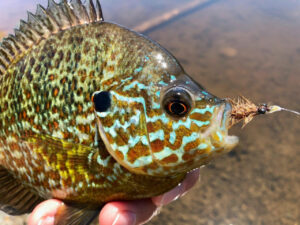 A pumpkinseed with a fly in its mouth