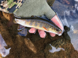 A brook trout is being held in a person's hand